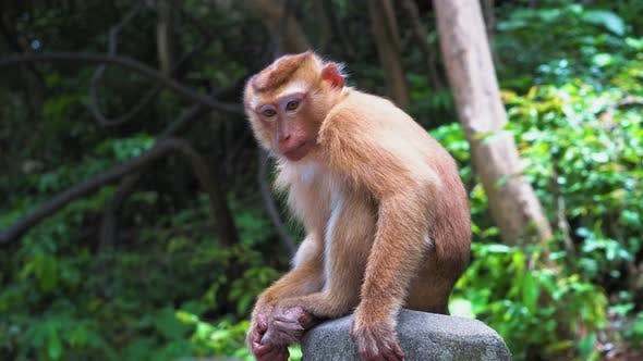 Thumbnail for Monkey in The Forest Sits on A Rock and Looks Around