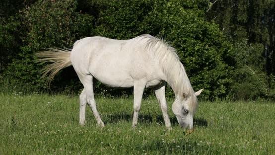 weißes Pferd gräst auf einer Frühlingswiese