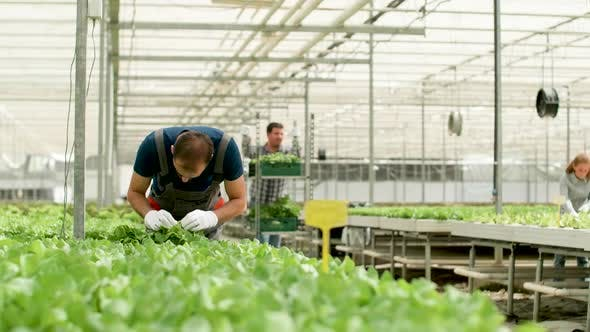 Thumbnail for Man Working in a Greenhouse for Green Salad Cultivation