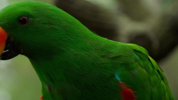 Cover Image for Eclectus Parrot Eat Sugar Cane