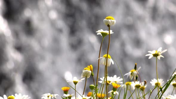 Thumbnail for White Daisy and Waterfall