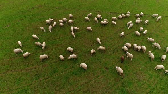 Thumbnail for Aerial view of Sheeps Grazing in the Field