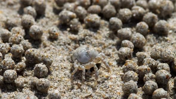 Thumbnail for Sand Bubbler Crab