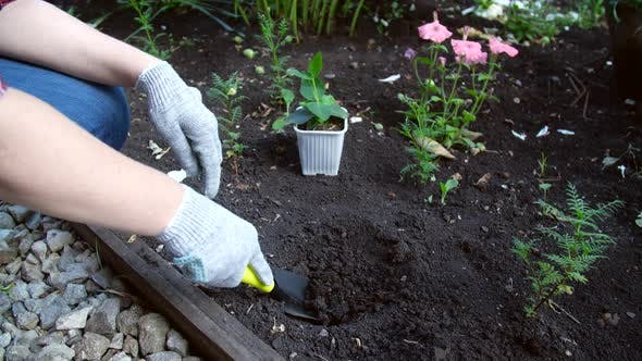 Thumbnail for Hobby Concept. Woman Planting Young Seedling