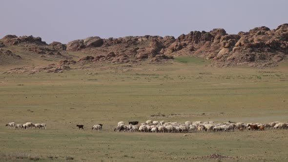 Thumbnail for Herd of Sheep and Goats Grazing