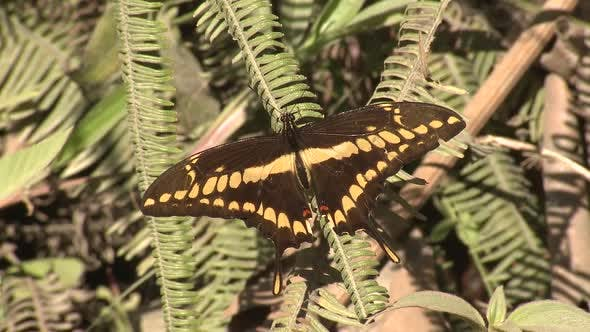 Thumbnail for King Swallowtail Butterfly Wings Perched Flying in Ecuador Jungle