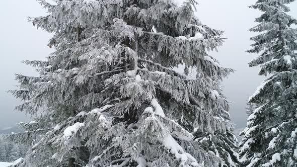 Thumbnail for Beautiful Cloudy Winter Fir-trees