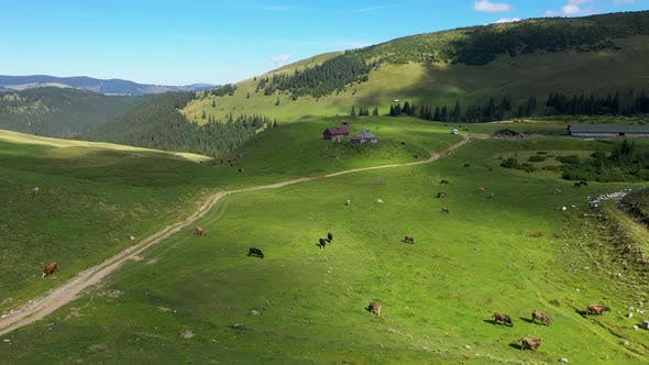 Thumbnail for Aerial View of Cows Grazing in Alpine Meadow