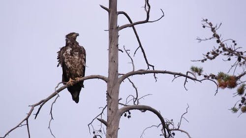 Young Bald Eagle sitting in tree top