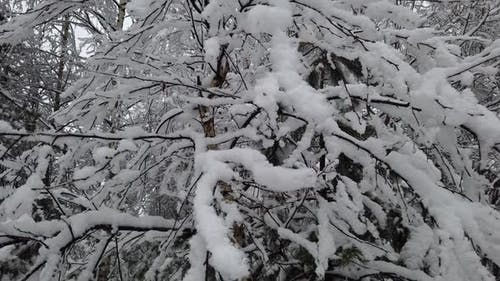 Trees Are All Covered in Snow in the Winter Forest