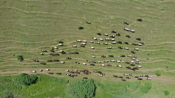 Thumbnail for Cows herding on green field in summer for dairy production. Herd of cows grazing top view