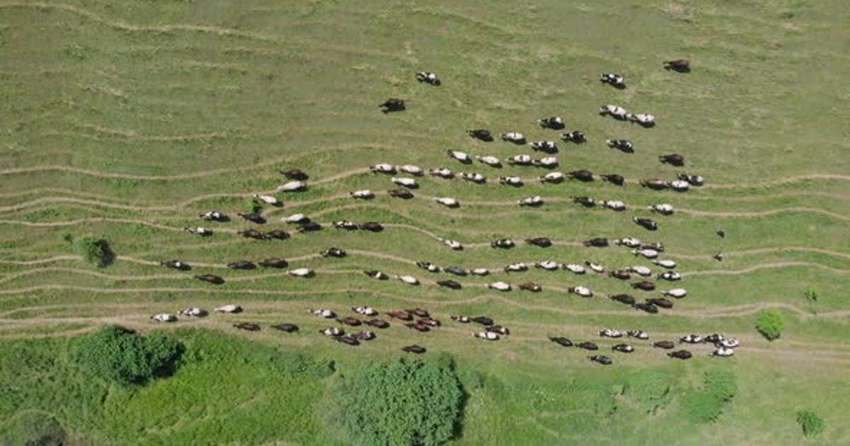Cows herding on green field in summer for dairy production. Herd of cows grazing top view