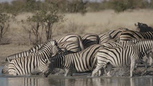 Zebras at a Waterhole Splashing