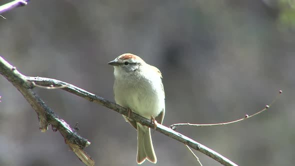 Chipping Sparrow Adult Lone Perched Flying in Spring in South Dakota