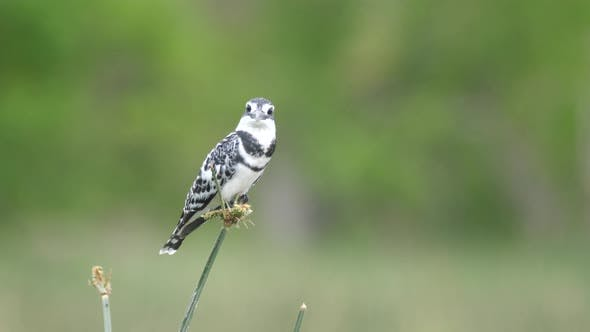 Pied kingfisher on reed looks in to the camera