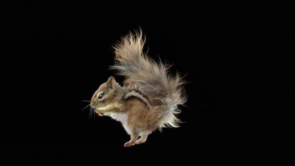 Squirrel Fly HD