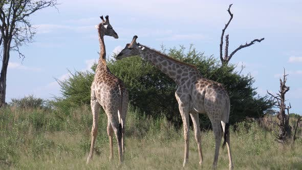 Thumbnail for Two giraffes starts fighting in Moremi Game Reserve, Botswana