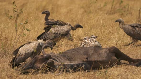Thumbnail for Vultures feeding on a carcass