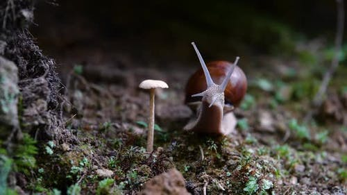 Helix Pomatia Also Roman Snail, Burgundy Snail, Edible Snail or Escargot, Is a Species of Large