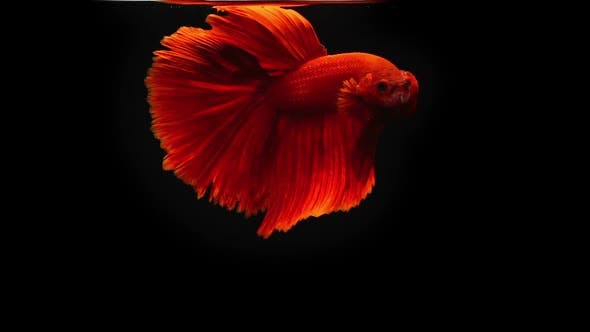 Thumbnail for Siamese Half Moon Fighting Fish Betta Splendens