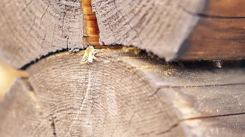 CU, Macro, Slow Motion: The Bee Builds a Nest, Between the Logs, in the Summer House. Brings