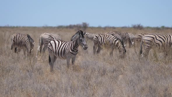 Thumbnail for Herd of Zebras on a dry savanna