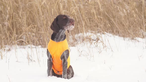 The Hunting Dog Is Waiting for the Signal To Start Hunting