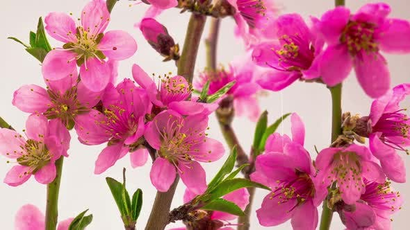 Cover Image for Pink Cherry Tree Flowers Blossoms