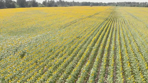 Beautiful field of sunflowers. Sunflower field.