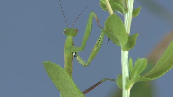 Praying Mantis Lone Walking Moving in Summer in South Dakota