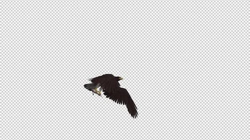 Eurasian White Tail Eagle With Fish - Flying Transition I