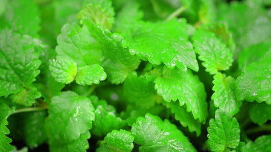 The Leaves of Fresh Mint Slowly Rotates.