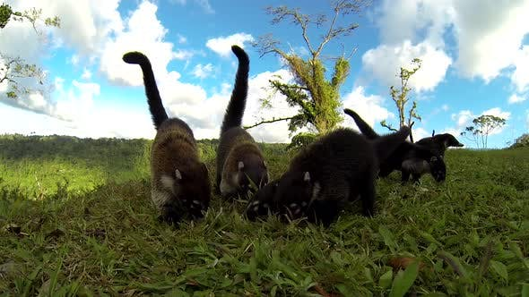 White-nosed Coati Adult Immature Several Troop Foraging Looking For Food Digging