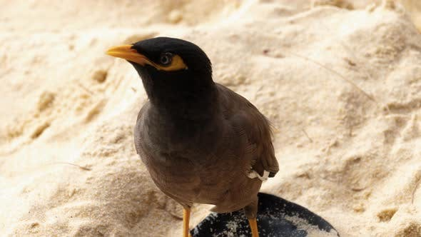 Thumbnail for Common Myna -Acridotheres Tristis-