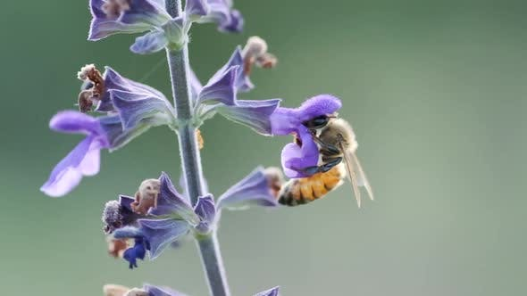 A Worker bee collects nectar from Violet Flower