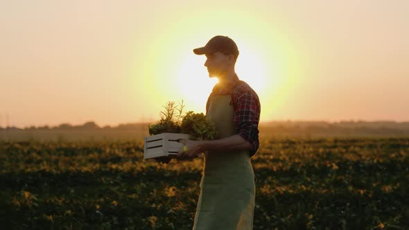 Cover Image for A Man Is a Farmer Walking in His Own Field Carrying a Box of Vegetables and Greens