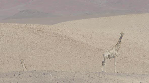Girafes du désert Desert Descente