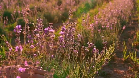 Männlich in der Provence Natur Details