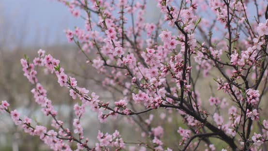 Pink sakura flower, Cherry blossom, Himalayan cherry blossom swaying in wind closeup background