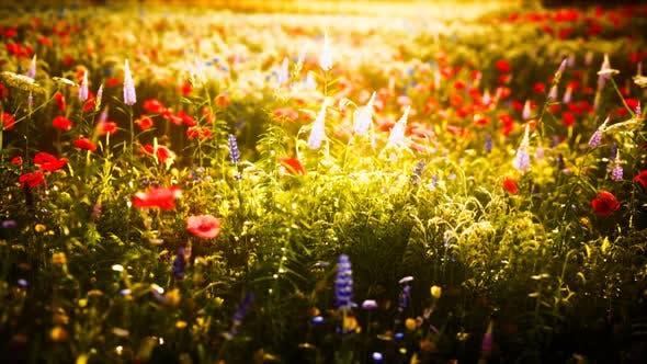 Sunset in the Wild Flower Field