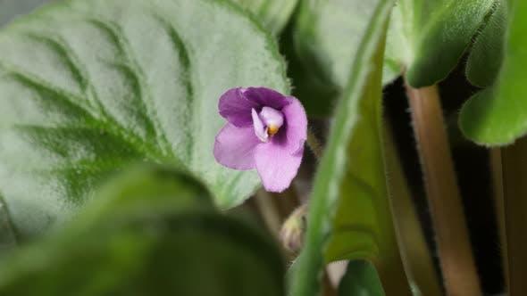 Thumbnail for Pink Saintpaulia ionantha beautiful plant bud and leaves slow tilt  4K 2160p 30fps UltraHD footage -