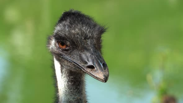 Thumbnail for Close up ostrich bird with green background