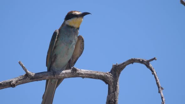 Thumbnail for Close up from a bee-eater on a tree branch