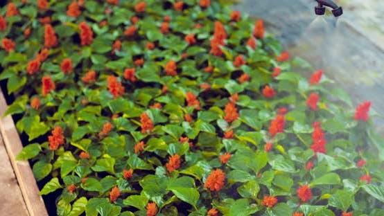 Thumbnail for Gardener Watering Flowers on Farm