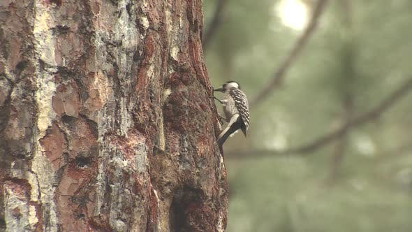 Thumbnail for Red-cockaded Woodpecker Bird Foraging Pecking Tapping Tree with Bill