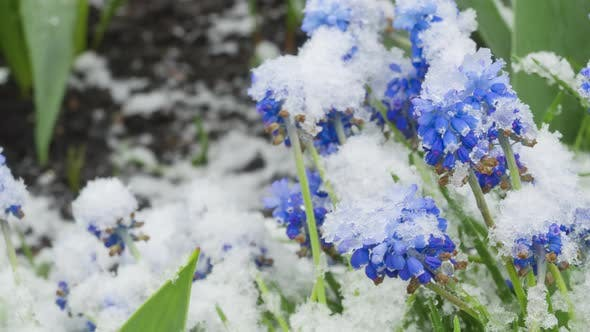 Snow Falls on Flowers in the Garden