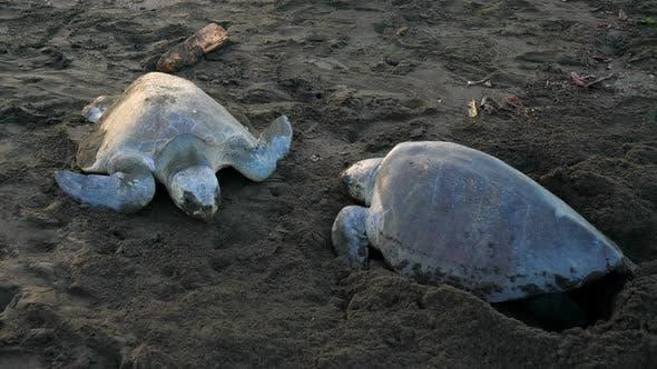 Atlantic Ridley Sea Turtles Spawning on a Tropical Beach