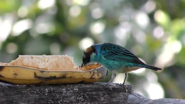 Thumbnail for Golden-naped Tanager Bird Songbird Eating Banana Fruit in South America