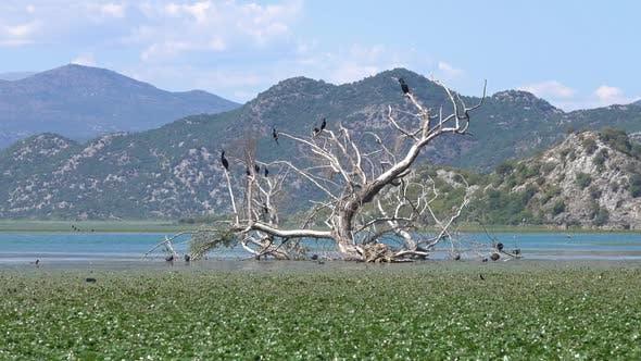 Thumbnail for Cormorant Birds on Lake Skadar in Montenegro