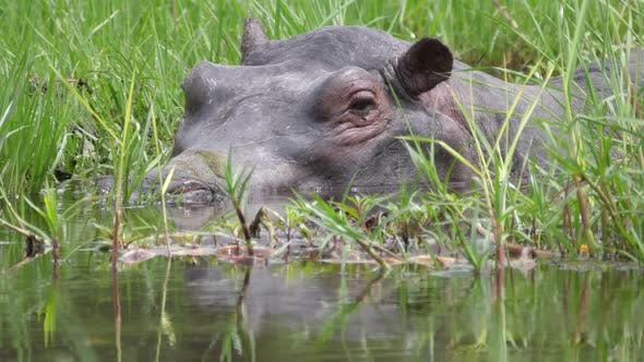 Thumbnail for Close up from a hippo sleeping in a swamp